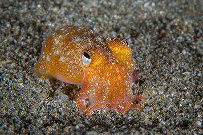 Bobtail (Bottletail) Squid