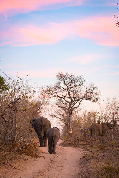 Elephants on road at dusk