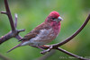 Purple Finch-0056