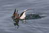 Long-Tailed Duck-5551