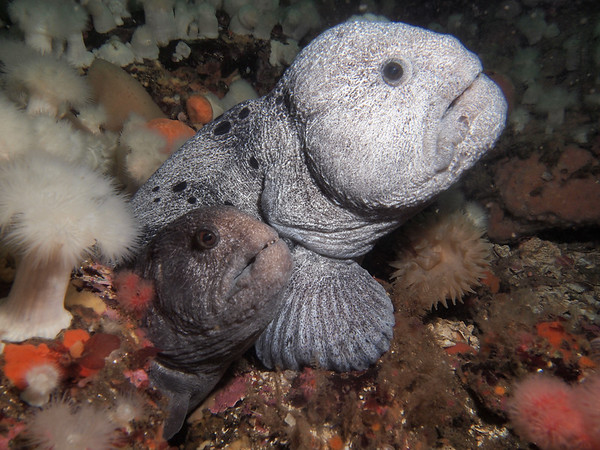 P4247158 - Mr. and Mrs. Wolf Eel   Please see link below for more wolf eel images and a link to a blog about this remarkable species http://jackiehildering.smugmug.com/Underwater/Wolf-eel/28042296_PhdSkN#!i=1193750444&k=GcLbcjh edit