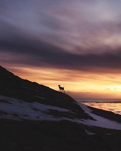 A reindeer takes a morning walk in Iceland