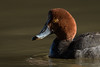 Canvasback-6977