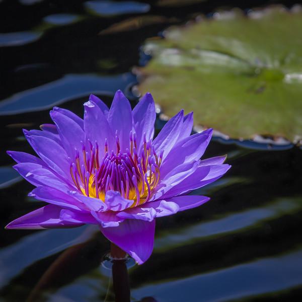 Pink Lotus Blossom