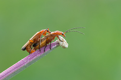 Common red soldier beetles on rosebay willowherb