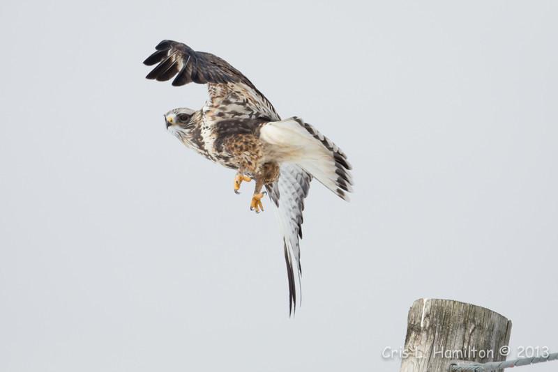 Rough-legged Hawk-4328