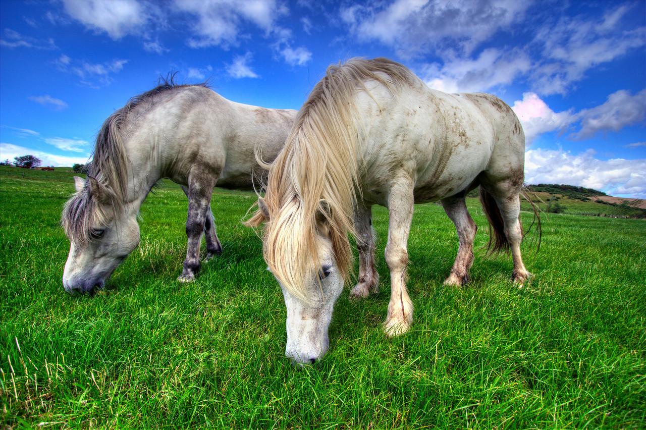 Highland Ponies Grazing