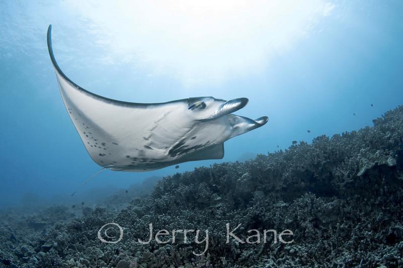 """Manta Ray (Manta alfredi) - Keauhou Bay, Big Island, Hawaii  To see more Hawaii manta rays, click <A HREF=""""http://sealifeimages.smugmug.com/gallery/4340888_mFKwp#180884819_2xRxm""""> here</a>"""