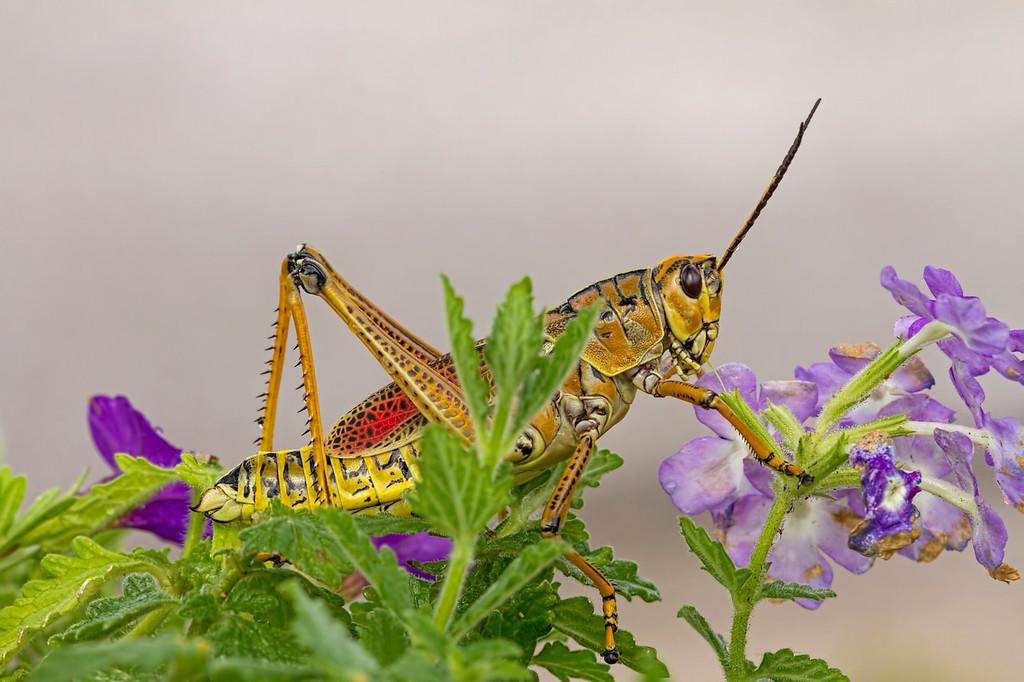 Eastern Lubber Grasshoppe