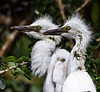 Pair of baby Egrets