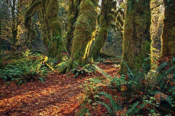 'Hall Of Moss' ~ Olympic National Park, WA