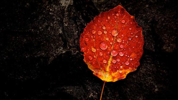 Regentropfen auf Pappelblatt  Raindrops on a populus leaf - mehr dazu im Blog: Herbst in den Bergen