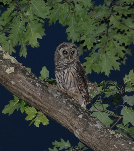 Bard Owl #1