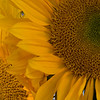 Sunflower Sunny Difused