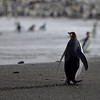 Beach walking King Penguin - St Andrews Bay South Georgia Island Sub Antarctic Region