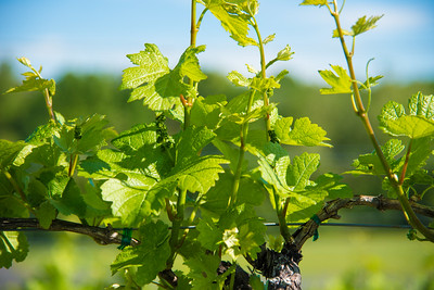 New Grapes on the Vine
