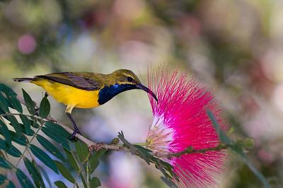 Olive-Backed Sunbird male (Nectarina Jugularis)