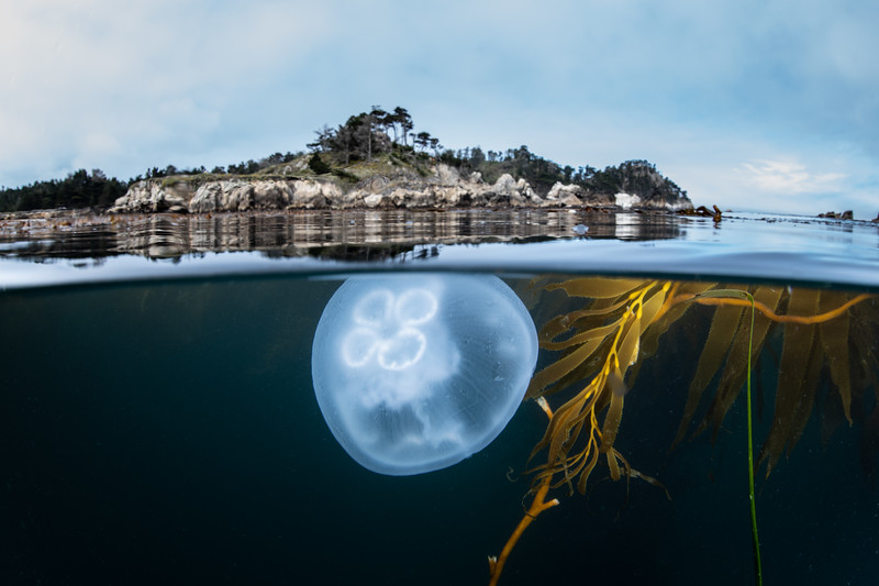 A Moon jelly drifts near the surface, Point Lobos State Natural Reserve, California, USA