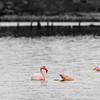 Flamant Rose