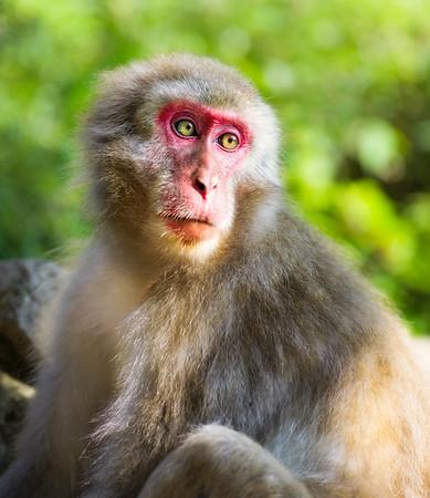 Contemplative Snow Monkey