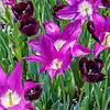 """Purple Dream"" Tulip"