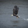 Bald Eagle Catch