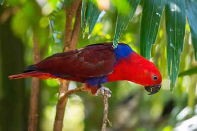Eclectus Parrot (Male; Eclectus roratus)