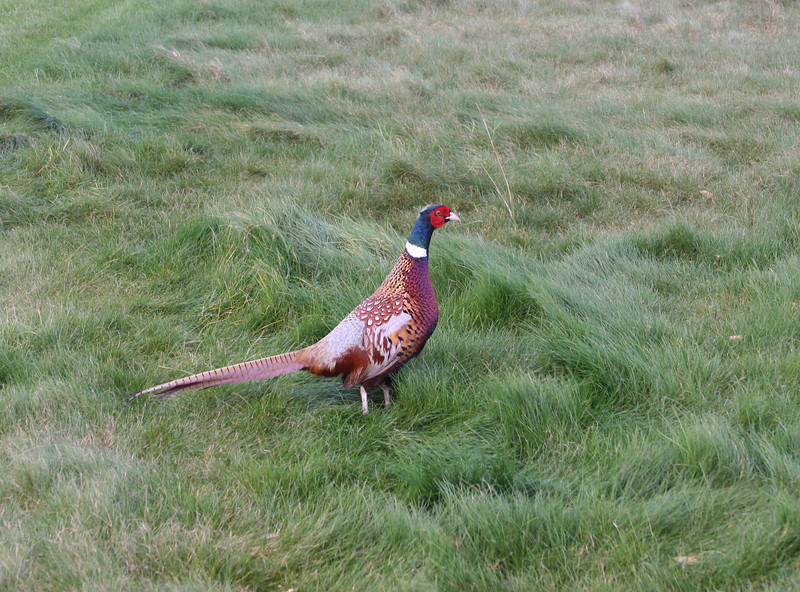 kauri cliffs pheasant