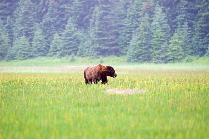 Adult Bear Feeding - Lake Clark Alaska