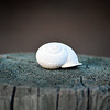 Snail Shell on Fence Post