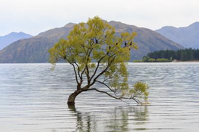 The famous Lake Wanaka tree
