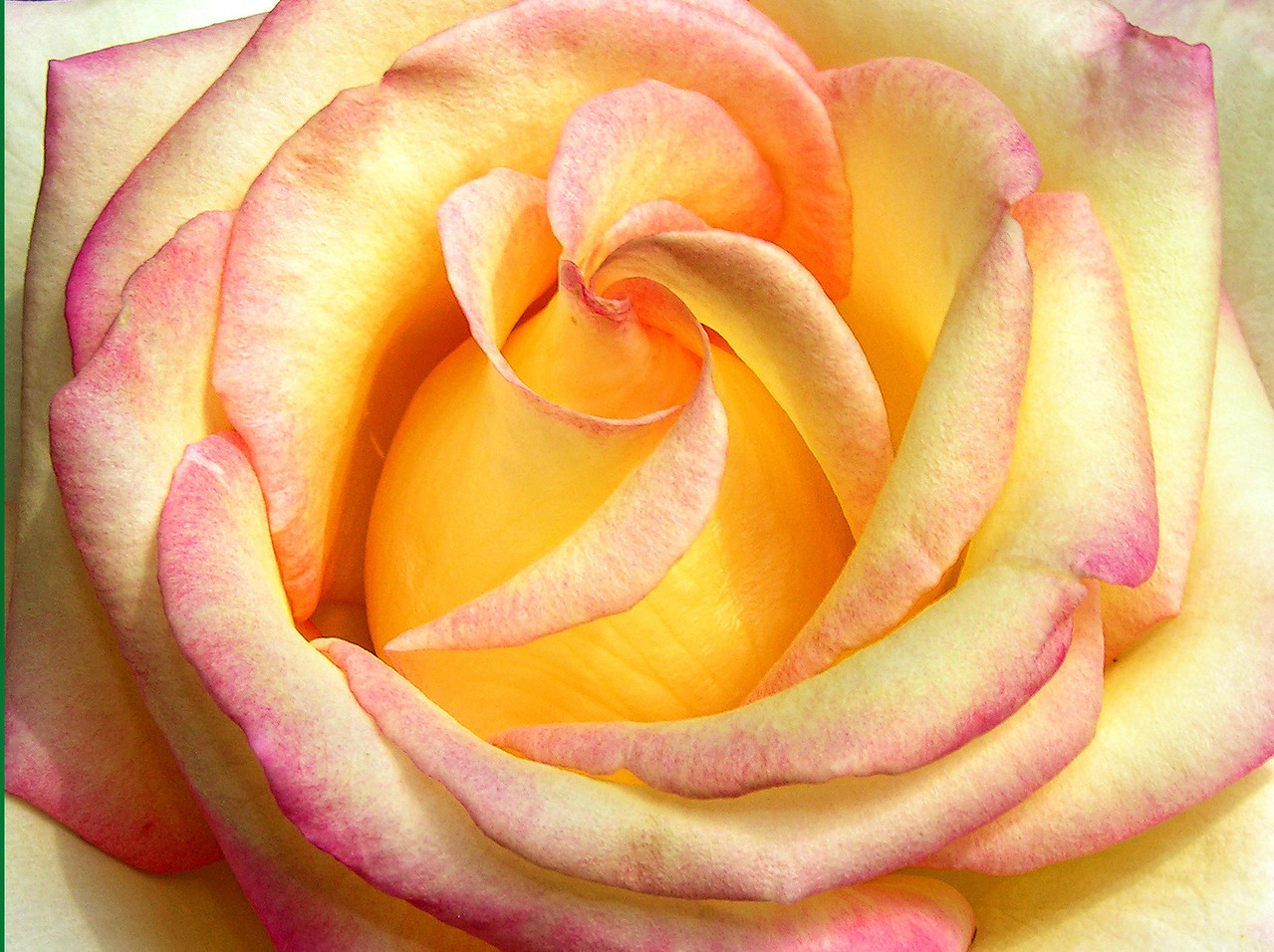 Unfolding Rose of Peace