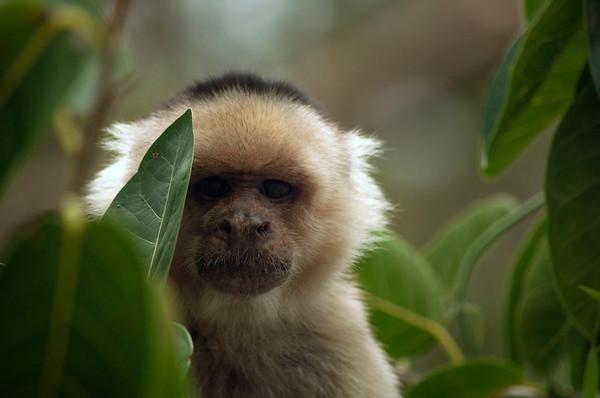 White-faced Capuchin Monkey (Cebus capucinus) hiding behind leaves