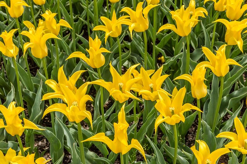 """""""Flashback"""" Tulips"""