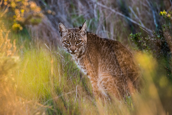 A wild bobcat (Lynx rufus) in the late evening in the Marin headlands.