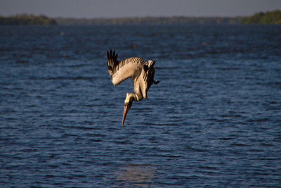 Pelikan bei der Jagd - Sanibel Island