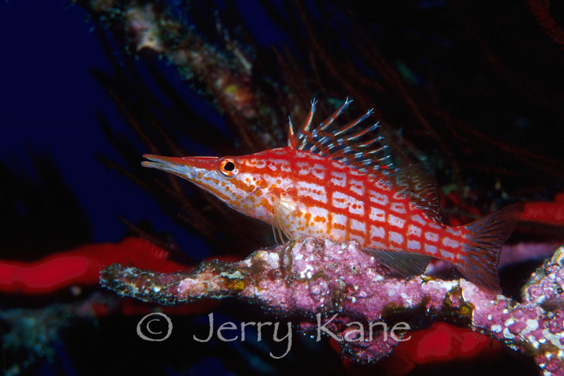"Longnose Hawkfish (Oxycirrhites typus) - Deep Reef off Red Hill, Big Island, Hawaii  To see more Hawaii hawkfish, click <A HREF=""http://sealifeimages.smugmug.com/gallery/4340881_oA4Uk#327448162_B5RiM""> here</a>"