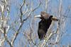 Harmarville Eagle_3204