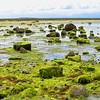 Green Seaweed at Low Tide - Cortes Island