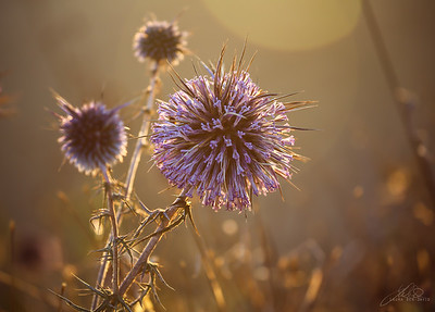 Purple globe thistle in the Judean Hills