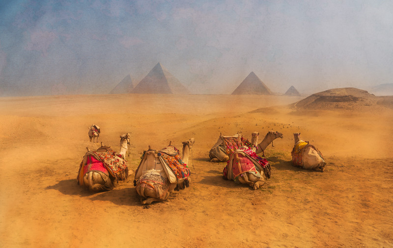 Camels In Africa