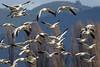 Snow Geese-