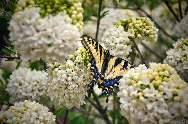 'Eastern Tiger Swallowtail' ~ Cumberland Falls State Resort Park, KY