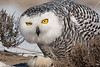 Starting Snowy Owl