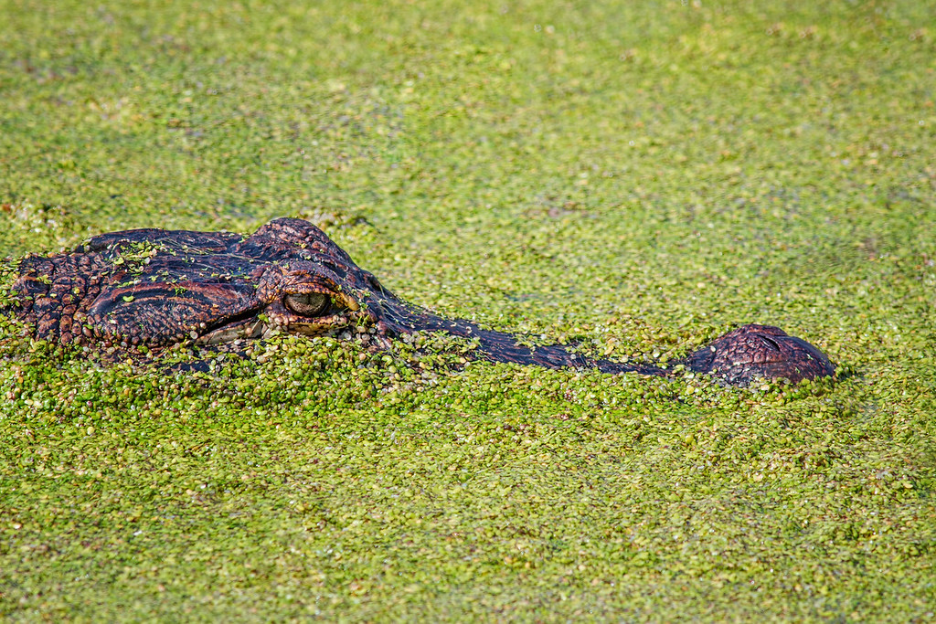 American Alligator in duckweed