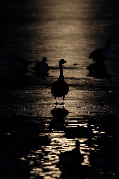 Mootlit Canada Geese