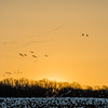 Strings of Snow Geese