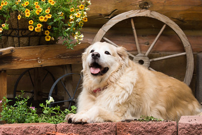 Happy golden retriever in the flower bed in front of a wagon wheel.