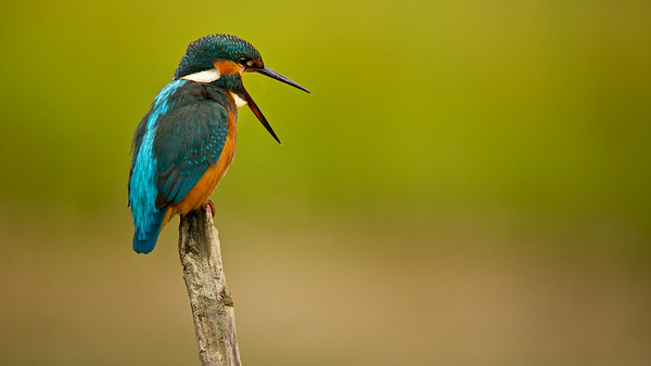 Eisvogel (Alcedo atthis), Common kingfisher