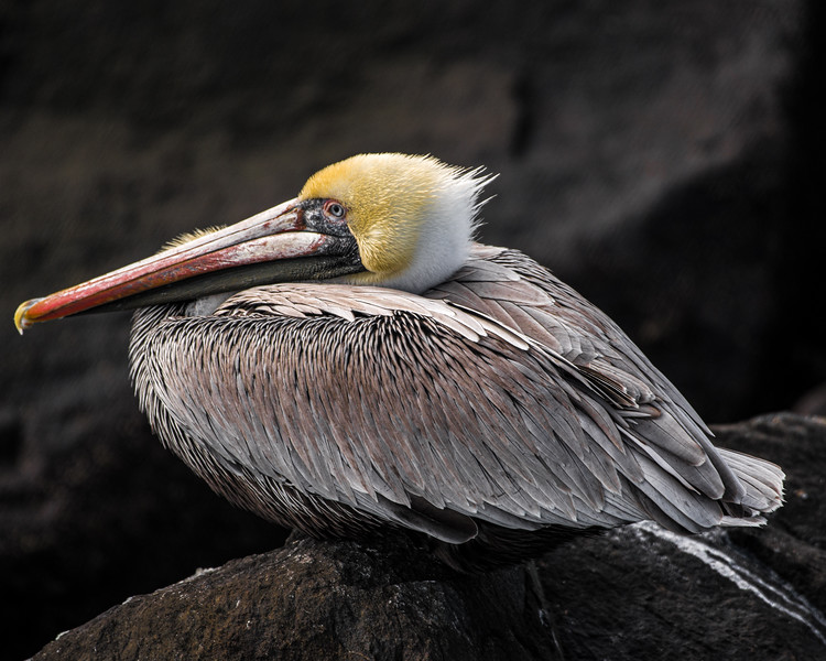 Pelican at Cape Canaveral